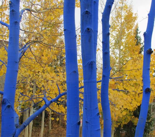 Blue Aspen ...PHOTO