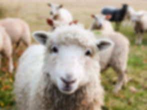 mouton qui regarde.jpg