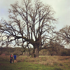 ancient oak.jpg