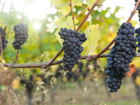 Pinot Noir: A Persnickety, Piquant Pleasure