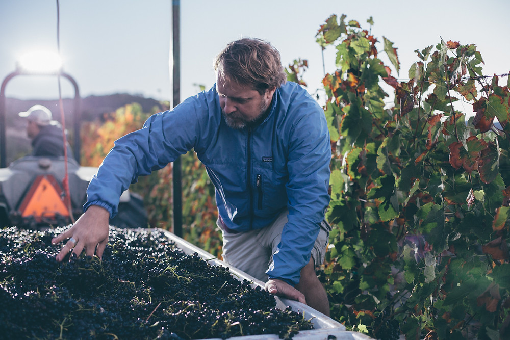 Winegrower and Co-Founder of Melville Winery, Chad Melville closely examines his harvest wine grapes crop after picking