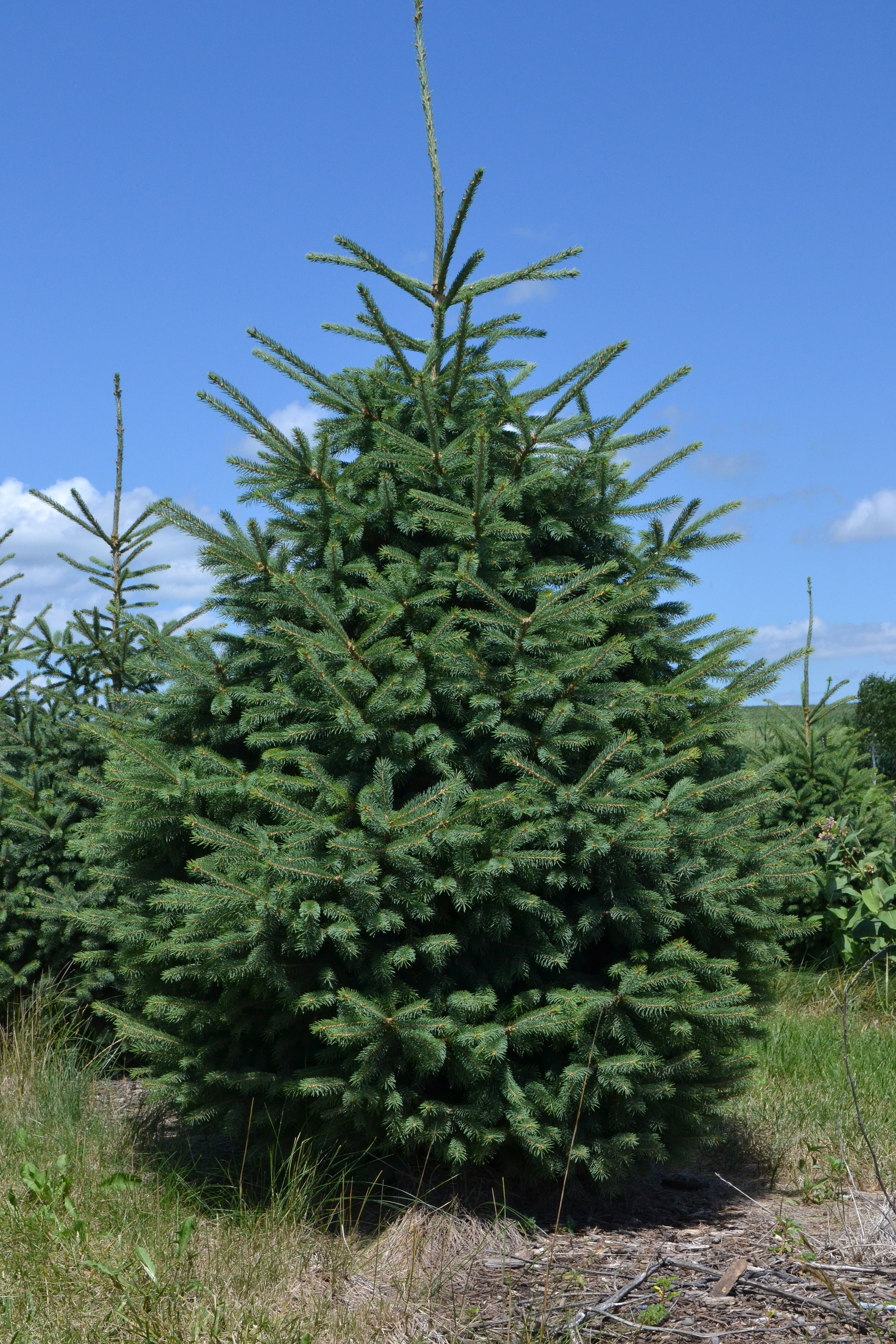 Cut Your Own Christmas Tree Mn Part - 40: Bhs Christmas Trees Part - 25: KTrees - Cut Your Own Christmas Trees,  Landscape
