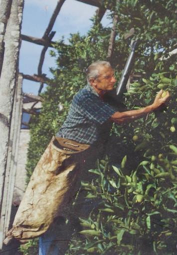 Harvestinglemons at a traditional limonaia