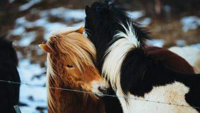les chevaux islandais