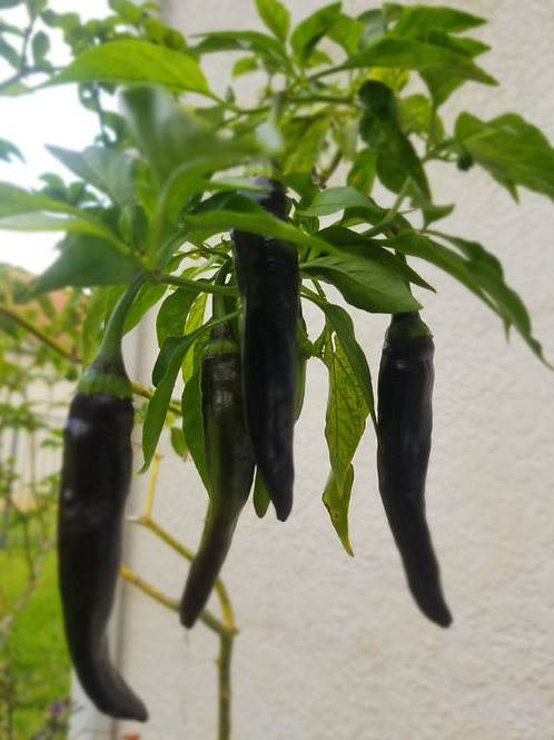 Pasilla Negro Pepper