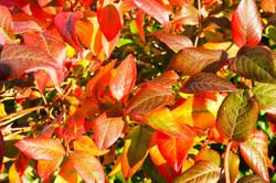 Herbstlaub Heidelbeeren
