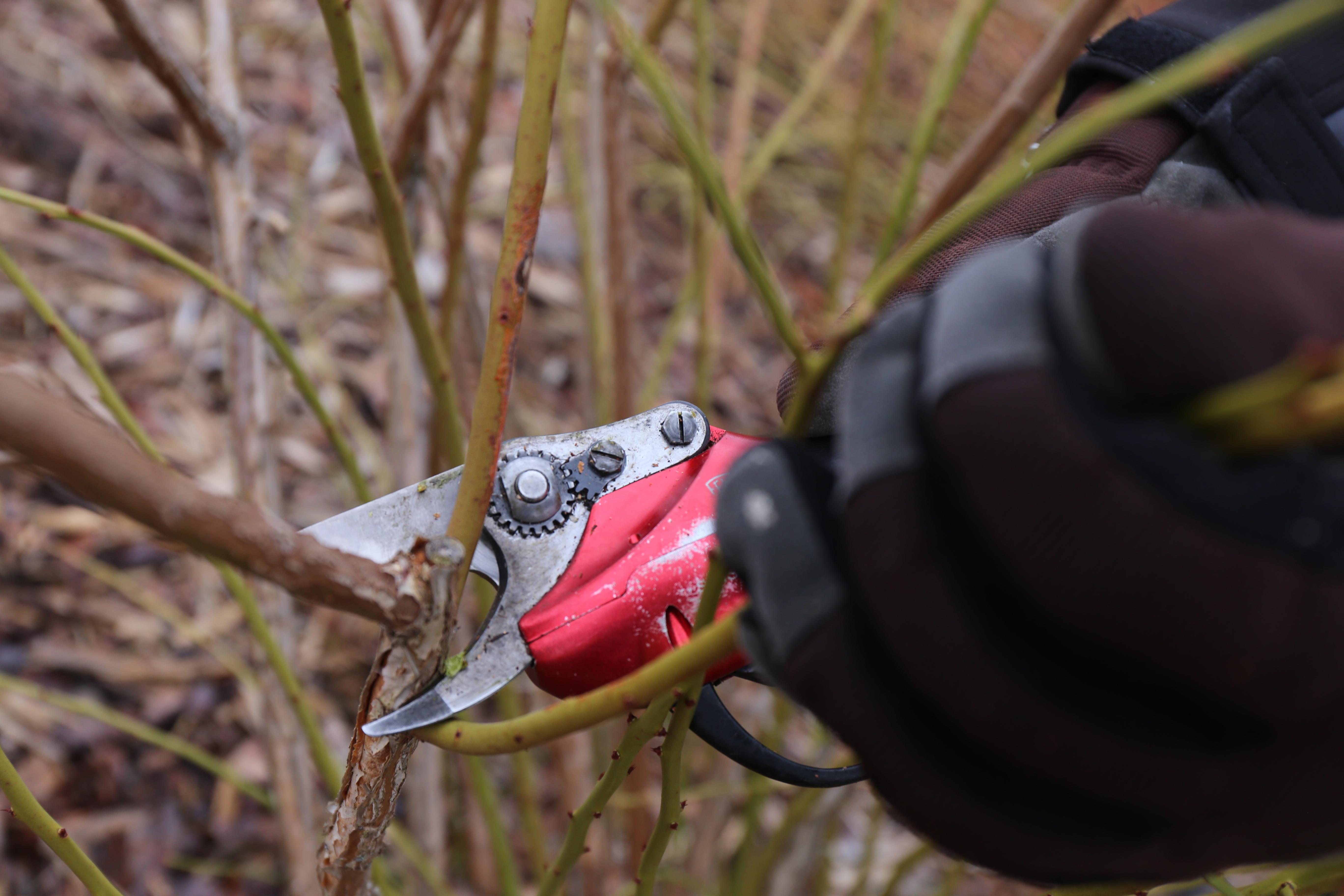 Heidelbeeren schneiden