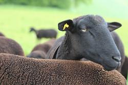 Die Schafe von André