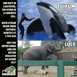 Lucy Tilikum