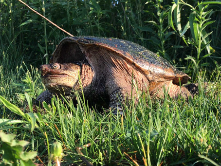 Butt-Breathing Snapping Turtles Are a Real Gas