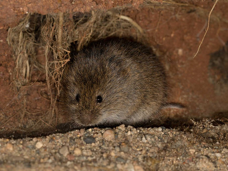Have You Ever Seen a Vole?