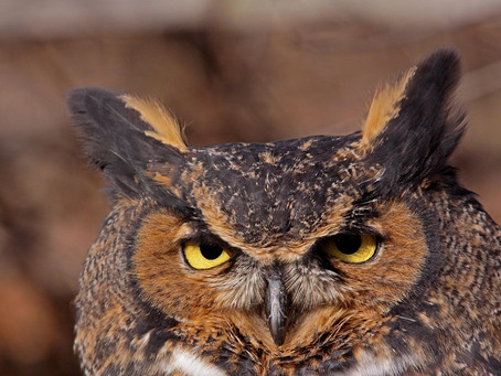 Great Horned Owls Are a Real Hoot