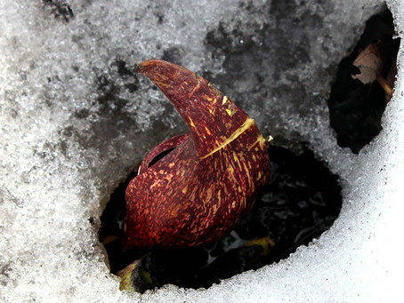 Skunk Cabbage: Strange and Stinky