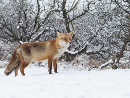 Red Foxes: The Silent Hunters