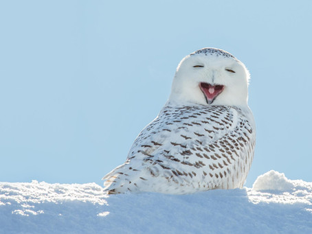 Snowy Owls Live Up to Their Name