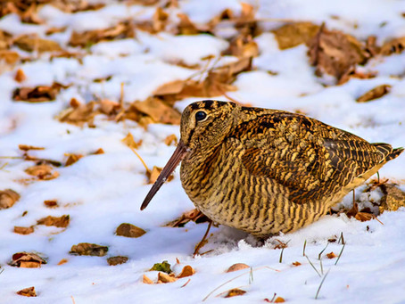 Meet Nature's Dance Off Champion: The American Woodcock