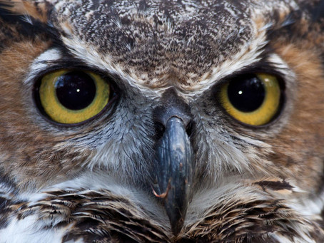Common Owls of Will County
