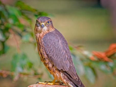 Meet the Fast Flying Merlin