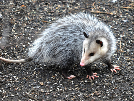 Creature Feature: The Odd-Looking Opossum