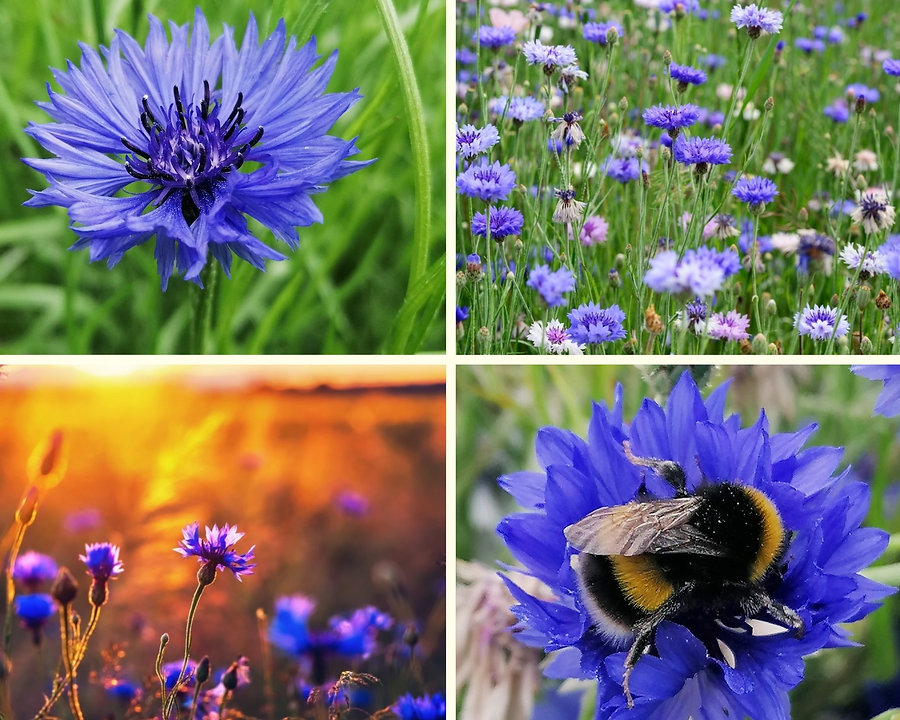 Wild blue cornflower collage.jpg