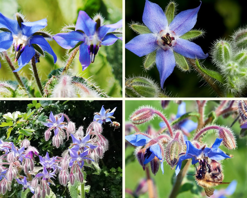 Borage collage.jpg