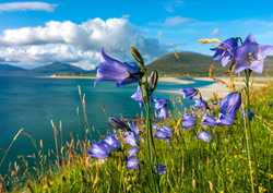 Harebells dancing in the Outer Hebrides