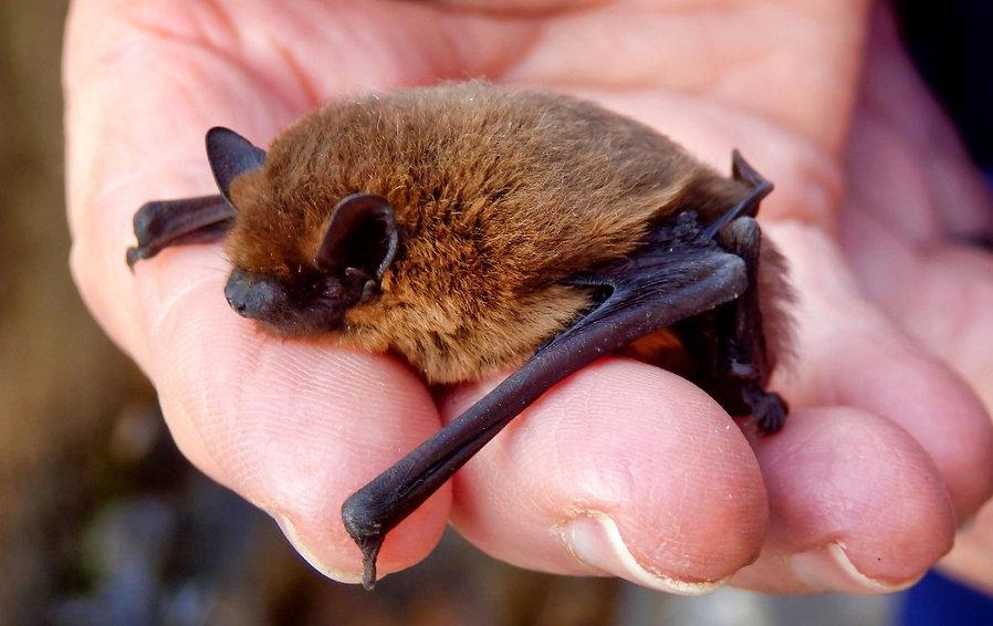 Pipistrelle%20bat%20-%20photo%20from%20C