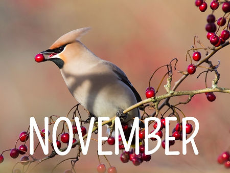 Waxwing%2520with%2520berries%2520-%2520p
