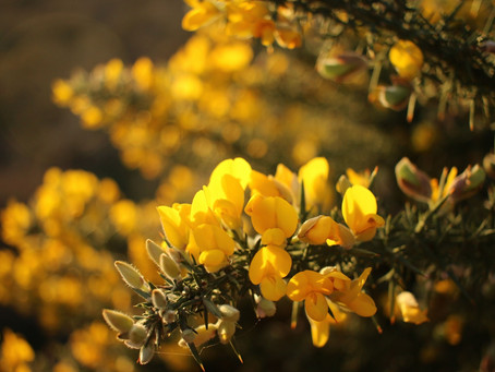 Wild wanders with Fiona Hall: Gorse and the smell of paradise