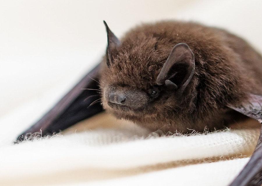 Common pipistrelle bat photo from Canva.