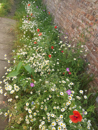 Cornfield wildflowers grown from seeds donated to Scotstoun Primary School in Glasgow