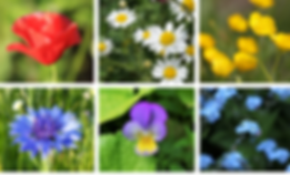 Cornfield annuals collage.png