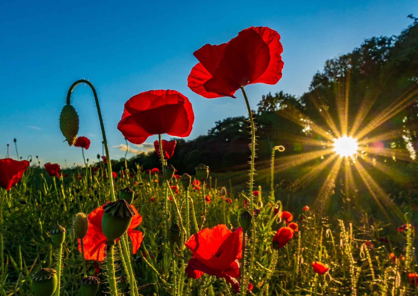 Edinburgh poppies at sunset