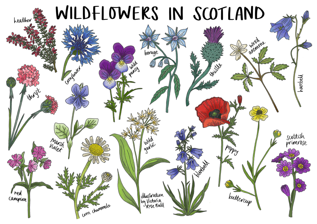 Wildflowers in Scotland