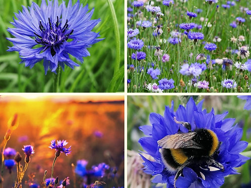 Bumper bee-happy border pack - wild blue cornflower