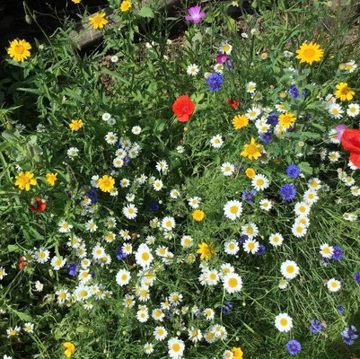 Cornfield wildflowers grown from seeds distributed via the Allanton Inn, in the Scottish Borders