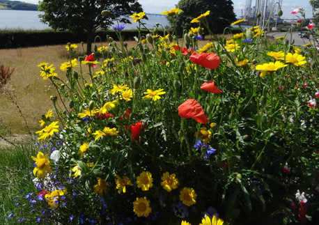Cornfield wildflowers grown from seeds given to Bonnie Dundee community gardening group