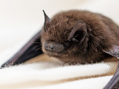 Wildflower seeds to save bats!