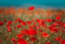 Canva - Red Flower Field.jpg