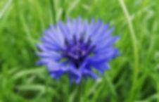 Cornflower - own photo.jpg