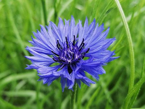 Blue cornflower - wildflower seed gift set