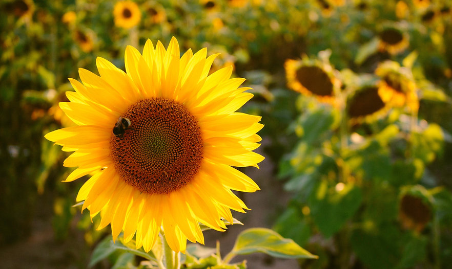 Sunflower and bee - photo from Unsplash
