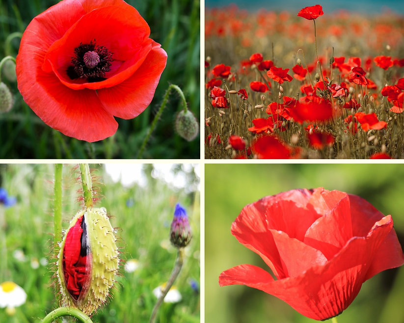 Field poppy collage.jpg
