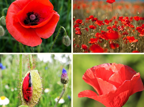 Bumper bee-happy border pack - field poppy