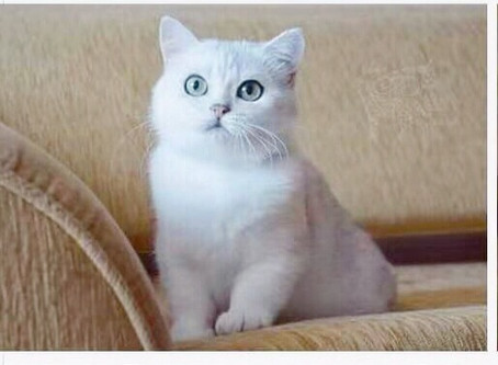 10 Things You Need to Know About British Shorthair Cats