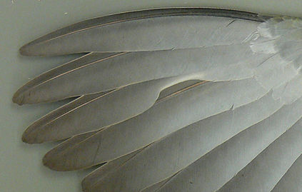 Pink-necked Green Pigeon (Treron verans) wing feathers