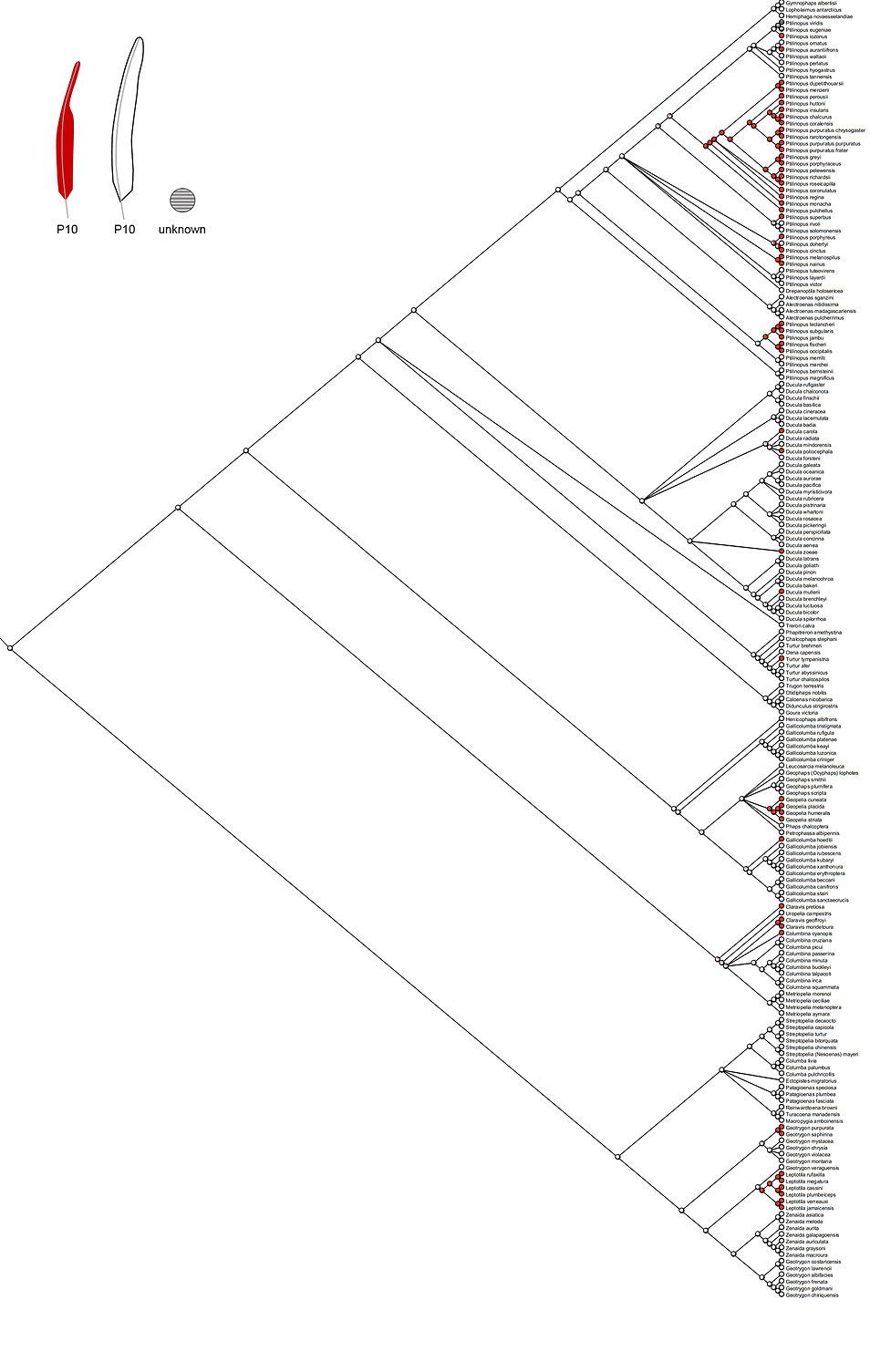 Columbidae ASR Red P10.jpg