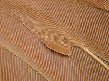 Columbina ground dove feather barbs
