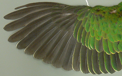 Superb Fruit Dove (Ptilinopus superbus) wing feathers