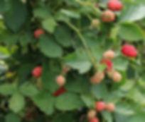 Raspberry-Leaf-Pregnancy-Benefits_edited.jpg